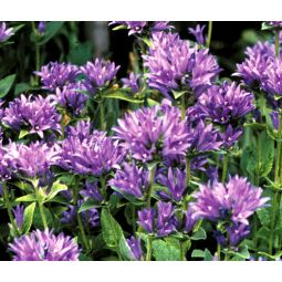 how to grow clustered bellflower